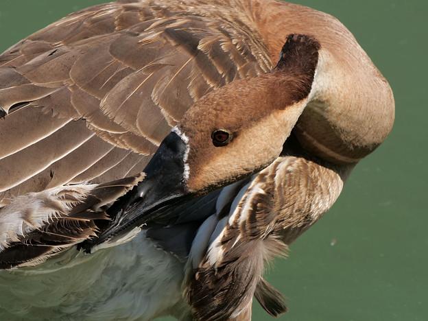 サカツラガン羽毛