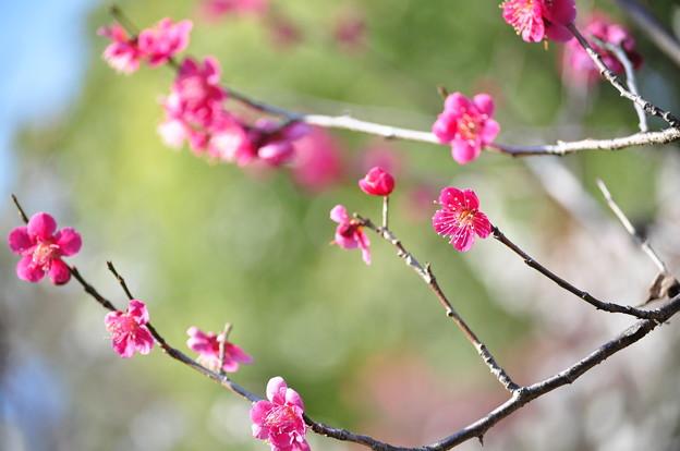写真: 梅 咲きました