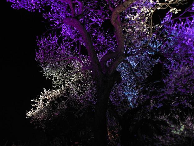 梅の散歩道 偕楽園4