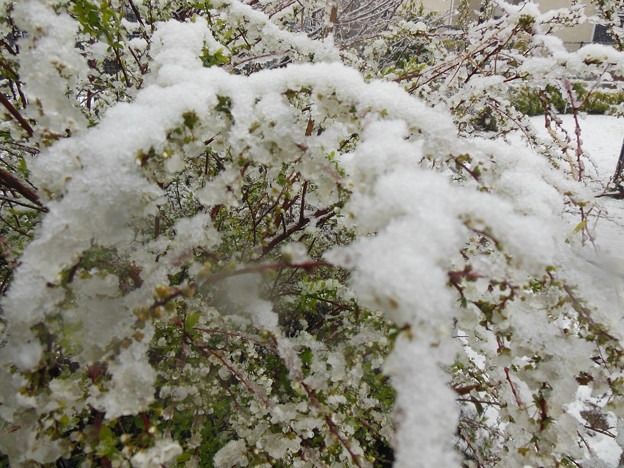 雪ユキヤナギ