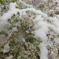 写真: 雪ユキヤナギ