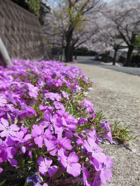 桜♪さくら♪