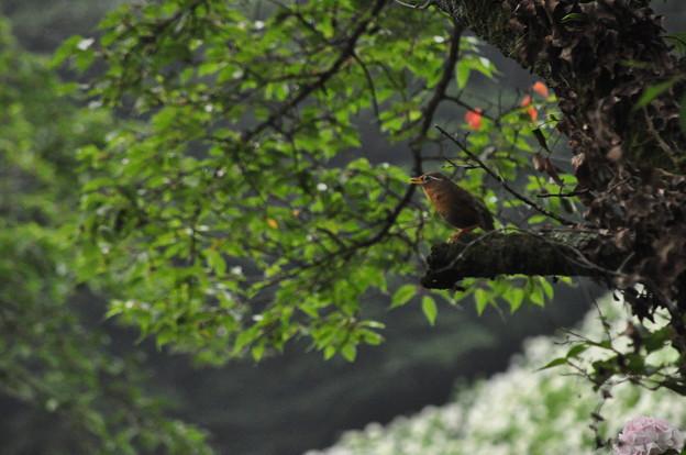 アジサイ鑑賞鳥