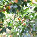 写真: 柿のつぶて