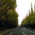 写真: 銀杏並木 冬準備中