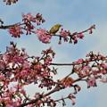 河津桜まつり2 メジロさんのお花見