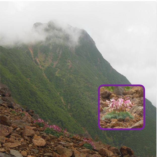 夏登山 赤岳の動植物4 コマクサ