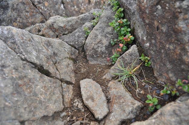 夏登山 赤岳の動植物7 コケモモ