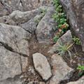 Photos: 夏登山 赤岳の動植物7 コケモモ