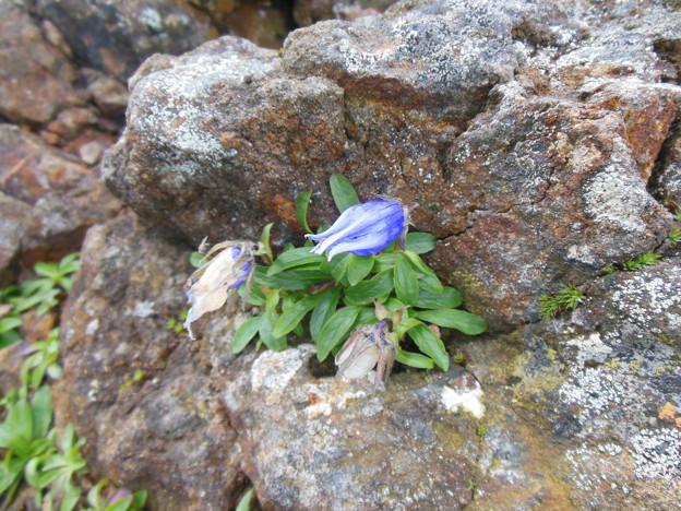 夏登山 赤岳の動植物8 チシマギキョウ