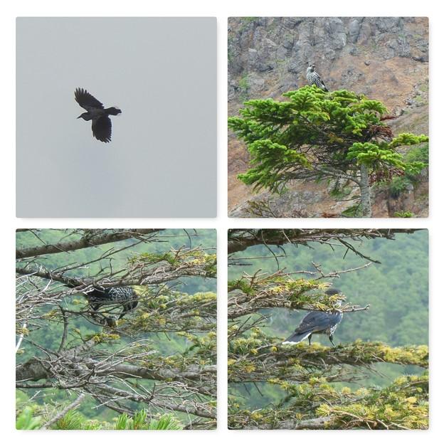 夏登山 赤岳の動植物10 ホシガラス