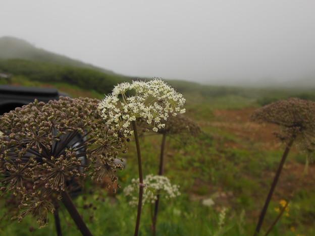 夏登山 赤岳の動植物12 ハクサンボウフウ
