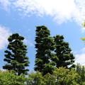 写真: しんげ木の・・・(笑