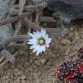 写真: サボテンの花002