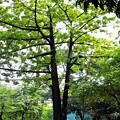 写真: 綿の木