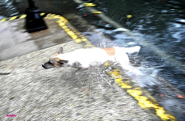 「真夏から雨季にウキウキ犬はしゃぐ」