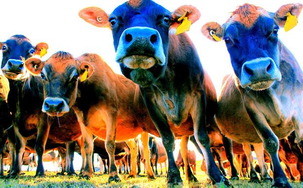 ニュージーランドの牛さん(ジャージー)