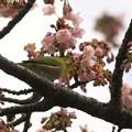 熱海桜は咲き始め~メジロさんと(^^)