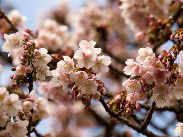 熱海桜は咲き始め