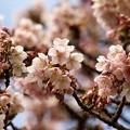 Photos: 熱海桜は咲き始め