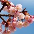 熱海桜は咲き始め~青空と共に