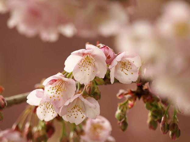 春の香り~熱海桜 *c