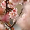 春の香り~熱海桜 *b