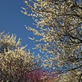 写真: 熱海梅園は4分咲き *c
