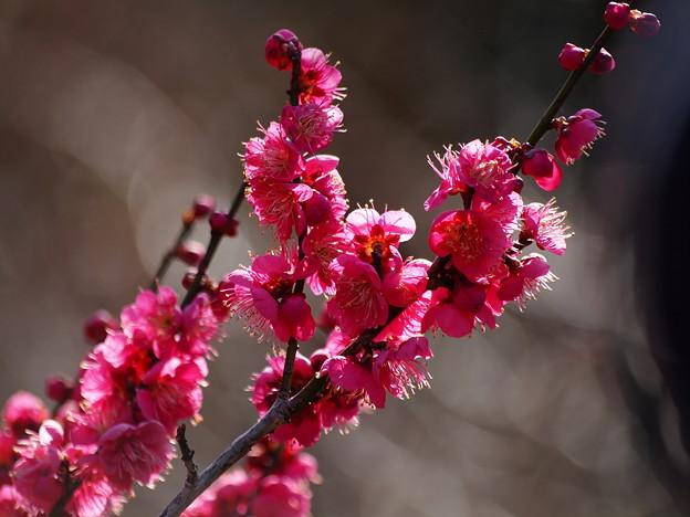 熱海梅園は4分咲き~テレマクロ *a