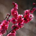 写真: 熱海梅園は4分咲き~テレマクロ *a
