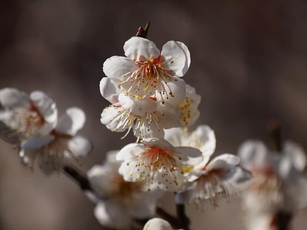 熱海梅園は4分咲き~テレマクロ *d