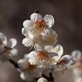 写真: 熱海梅園は4分咲き~テレマクロ *d