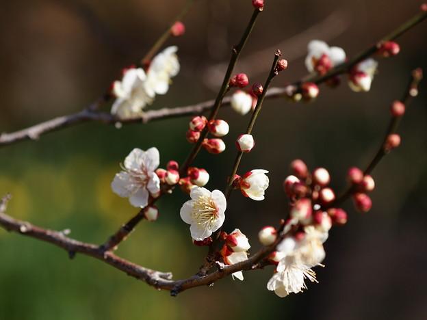 熱海梅園は4分咲き~テレマクロ *c