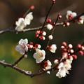 写真: 熱海梅園は4分咲き~テレマクロ *c