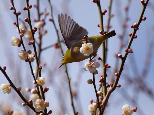 写真: 熱海梅園は4分咲き~メジロさん羽撃く!