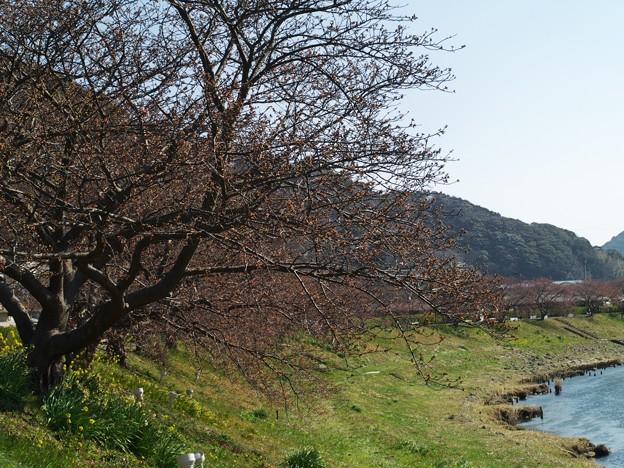 Photos: 未だ咲かぬ、みなみの桜