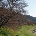 写真: 未だ咲かぬ、みなみの桜