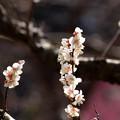 写真: 梅園に漂う春の香り