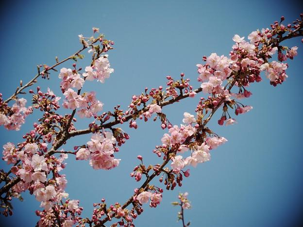 写真: 伊豆稲取の青空と桜と