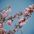 Photos: 伊豆稲取の青空と桜と