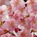 早咲き桜は今が旬