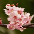 今が旬、水辺の早咲き桜