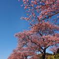 写真: 仰げば、みなみの桜