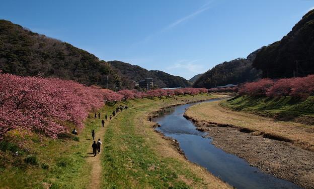 桜咲く青野川の川辺