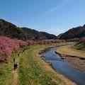 写真: 桜咲く青野川の川辺