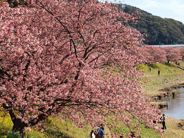 早咲き桜を愛でるひとたち