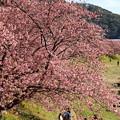写真: 早咲き桜を愛でるひとたち