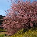 ナノハナ・早咲き桜・そして青空と