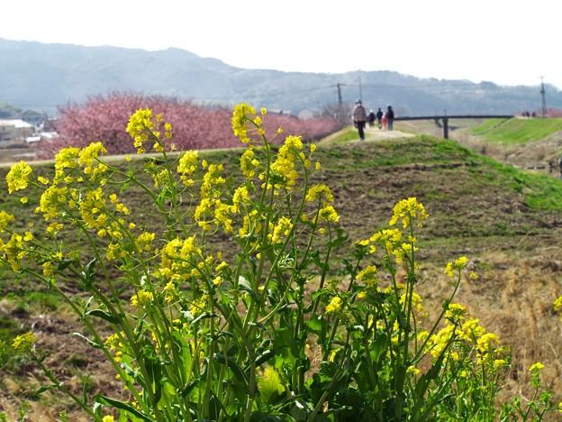 写真: 菜の花の向こう側
