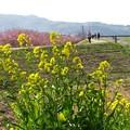 Photos: 菜の花の向こう側